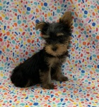 Silky Terrier #8648 Sprout D.O.B 2-12-21 Male.jpeg