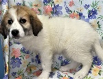 Great Pyrenees 1801 Dove DOB. 3.20.21 FEMALE  PALMER MALL 610-258-8200