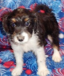 Aussiedoodle Mini 1941 Snickers DOB.6.30.21 MALE  Palmer Mall 610-258-8200